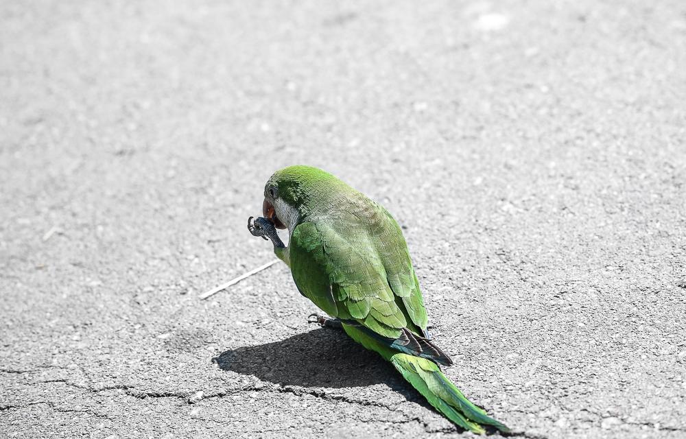 grüner-Papagei
