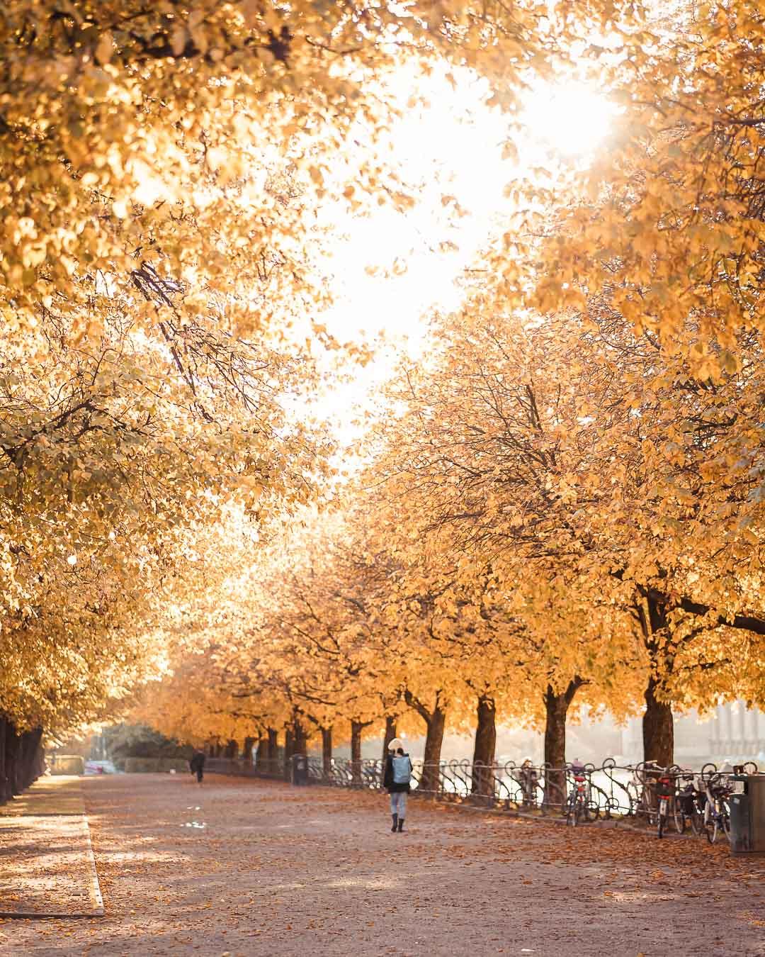 Goldene Herbstbaum Allee im Hofgarten.